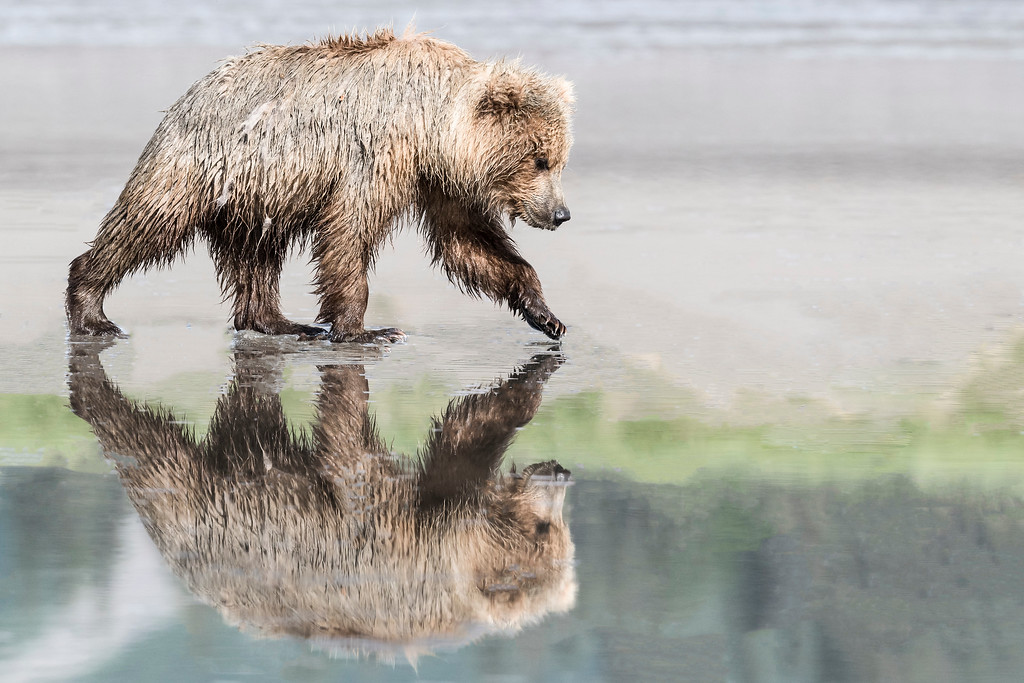 Reflection of coastal brown bear juvenile searching for clams ar low tide. Lake Clark NP, Kenai Peninsula, AK USA