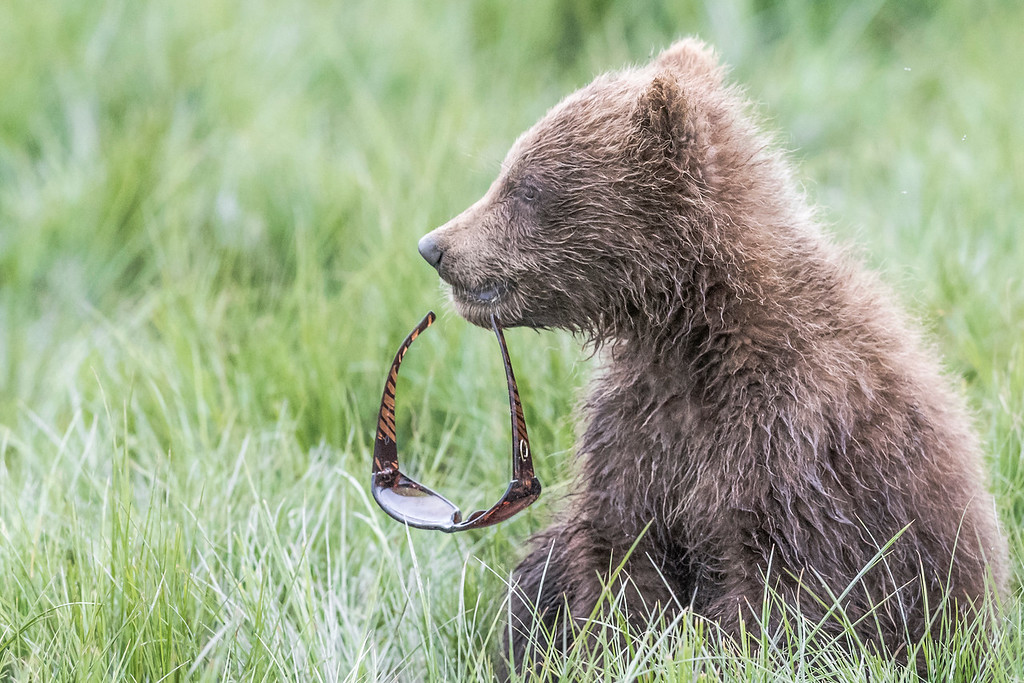 Coastal Brown Bear Spring cub playing with a pair of sunglasses a photograher lost. Lake Clark NP, Kenai Peninsula, AK USA