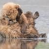 A pair of Coastal Brown Bear Juvenile playing in the mud (low tide). Lake Clark NP, Kenai Peninsula, AK USA