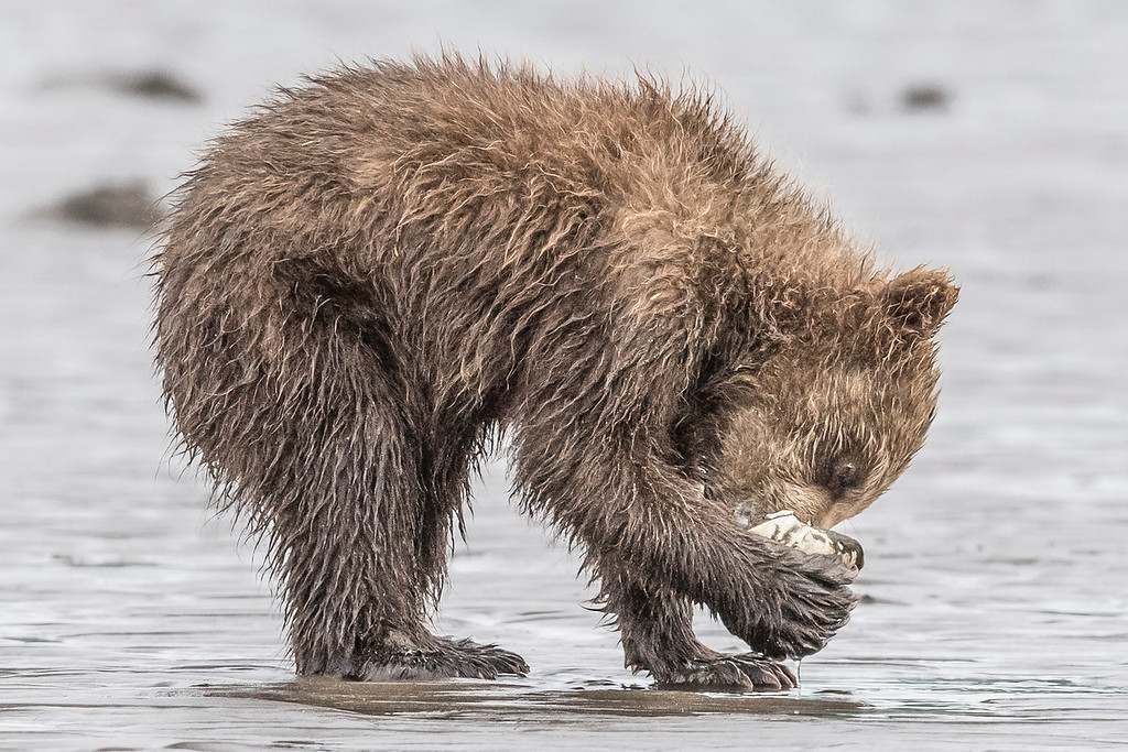 Coastal brown bear spring cub cleaning the last of the clam out of a clam shell. Lake Clark NP, Kenai Peninsula, AK USA