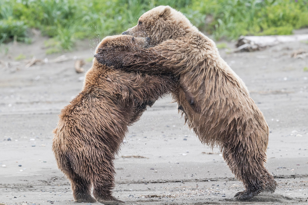 Coastal brown bear 'dancing' with one of her offspring (3 year old juvenile). Lake Clark NP, Kenai Peninsula, AK USA