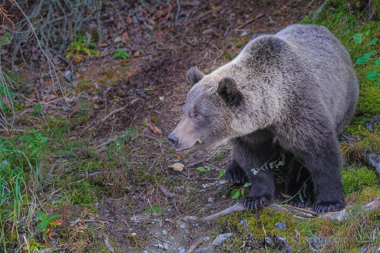 Curiosity Bear Cub Russian River Cooper Landing, Alaska © 2014