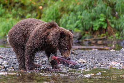 Brown Bear Fisherman Russian River Cooper Landing, Alaska © 2013