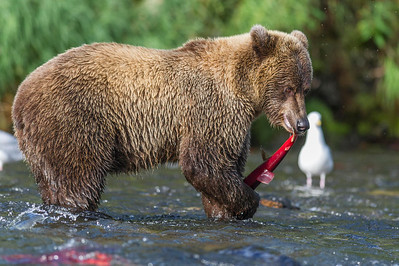 Brown Bear With Its Salmon Prize Russian River Cooper Landing, Alaska © 2013