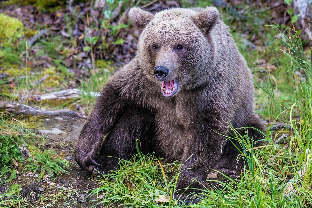 Conversation with a Brown Bear Cub Russian River Cooper Landing, Alaska © 2014