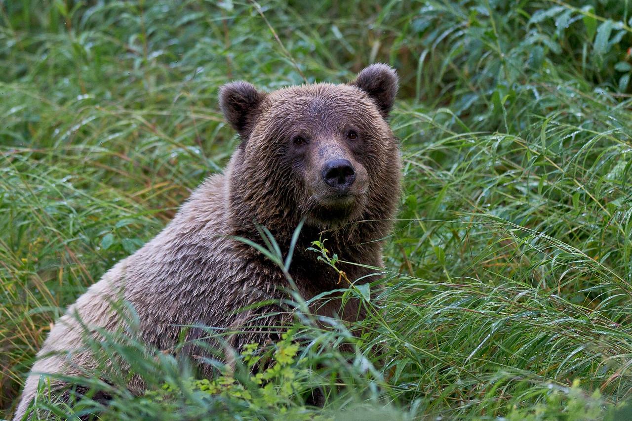 Brown Bear Sub-Adult Russian River Boardwalk Cooper Landing, Alaska © 2013