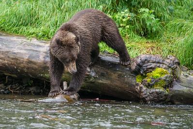 Brown Bear Dilemma Russian River Cooper Landing, Alaska © 2013