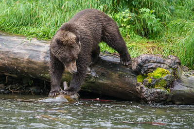 Brown Bear Dilemma Russian River Cooper Landing, Alaska © 2013