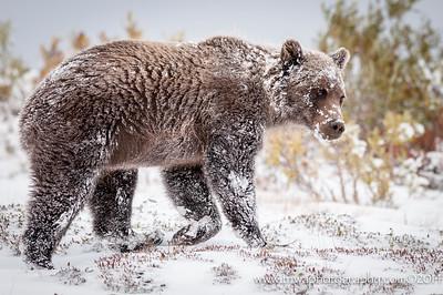 Frosty the Snow Bear Denali National Park Alaska © 2014