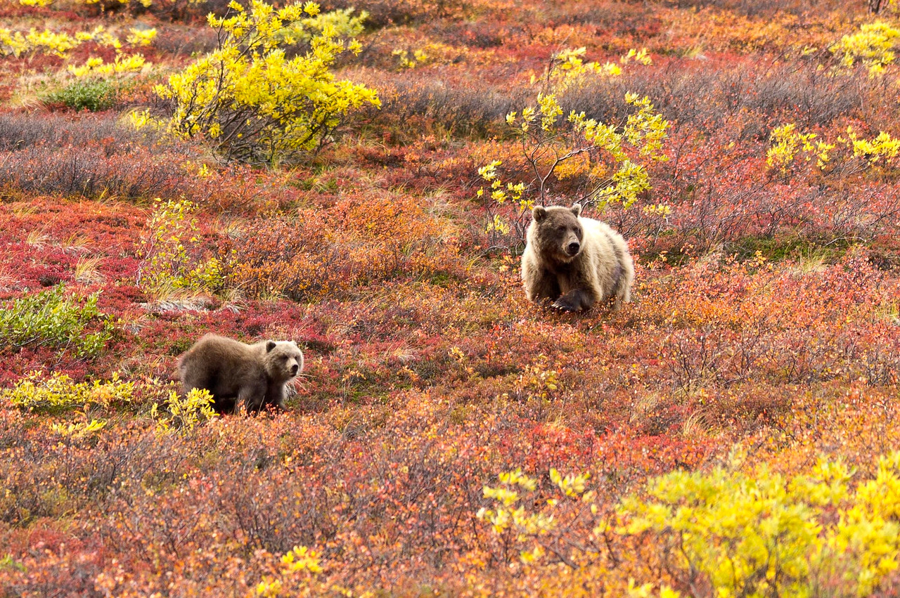 Grizzly Sow & Her Cub In Autumn Denali National Park Alaska  © 2012