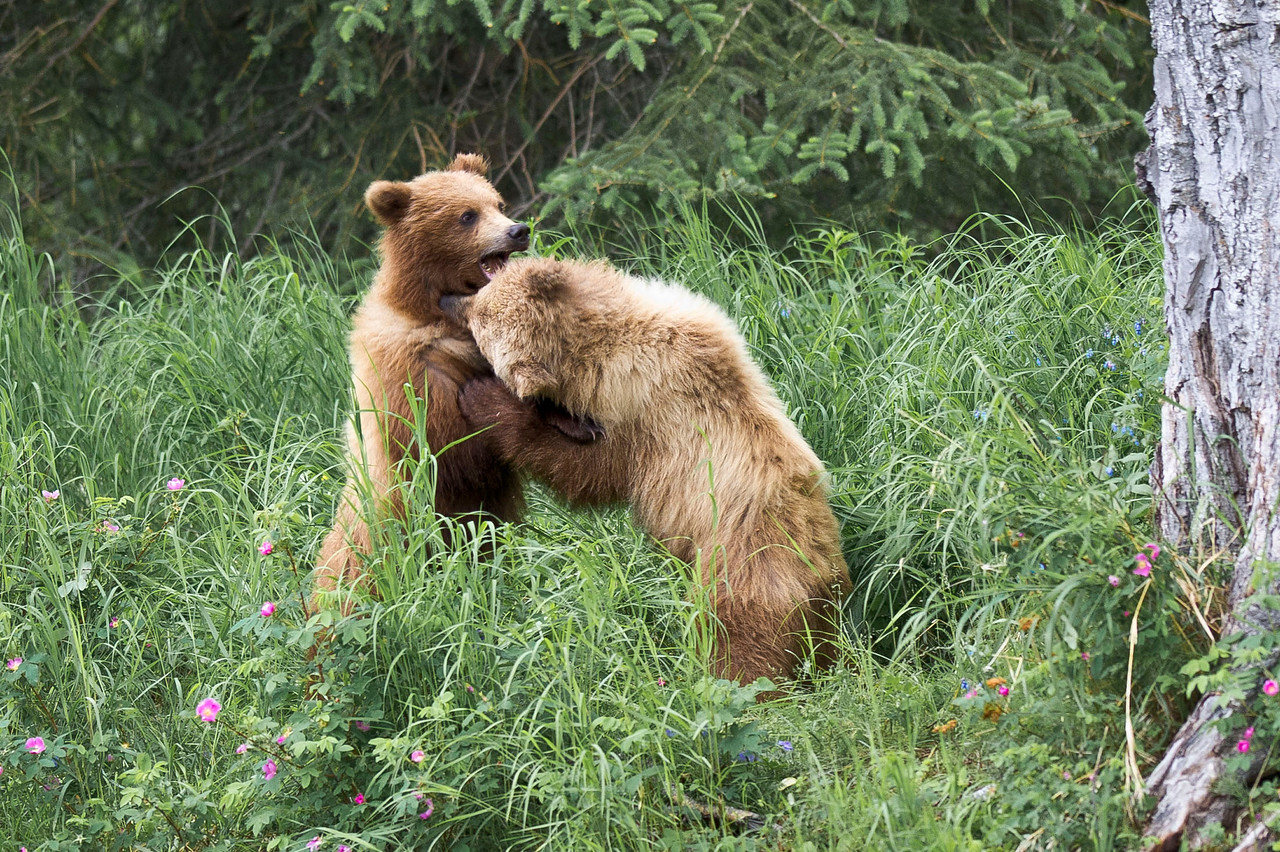 Brown Bear Sibling Cubs at play Russian River Kenai Peninsula, Alaska © 2011