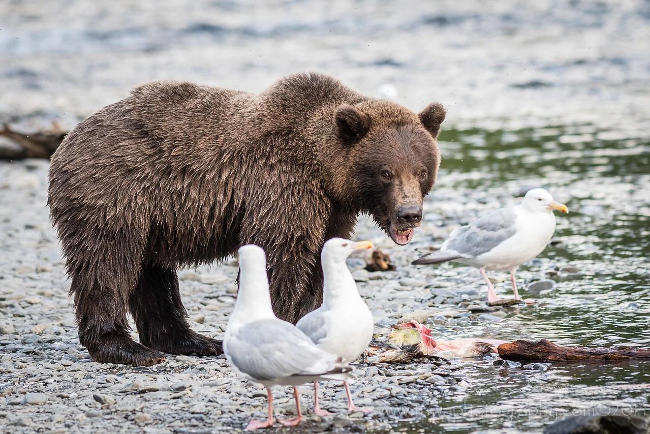 Photo-Bomb of the Brown Bear Cub Russian River Cooper Landing, Alaska © 2014