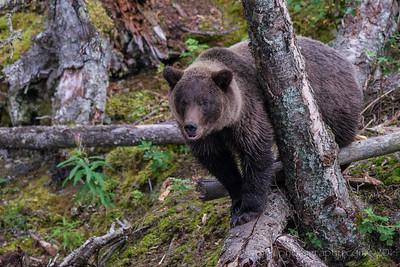 Brown Bear Out On A Limb Russian River Cooper Landing, Alaska © 2014