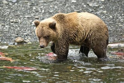 Yearling Brown Bear Cub Russian River, Cooper Landing Kenai Peninsula, Alaska © 2012