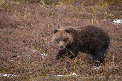 The Sweetest Grizzly Bear Cub Denali National Park Alaska © 2014