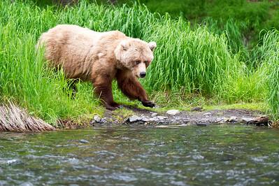 Brown Bear Emerges Russian River, Kenai Peninsula Cooper Landing, Alaska © 2011