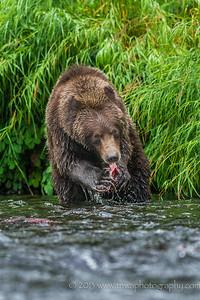 Brown Bear Eating Salmon Russian River Cooper Landing, Alaska © 2013