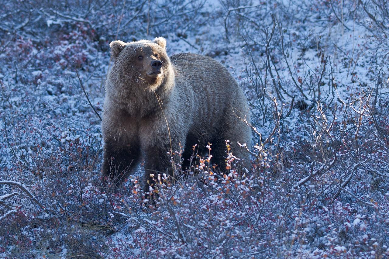 Grizzly Bear in Fresh Snowfall Denali National Park Alaska © 2012