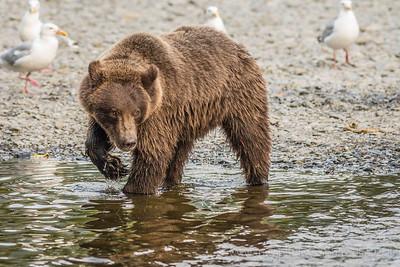 Brown Bear Cub Tests Boundaries Russian River  Cooper Landing, Alaska © 2014