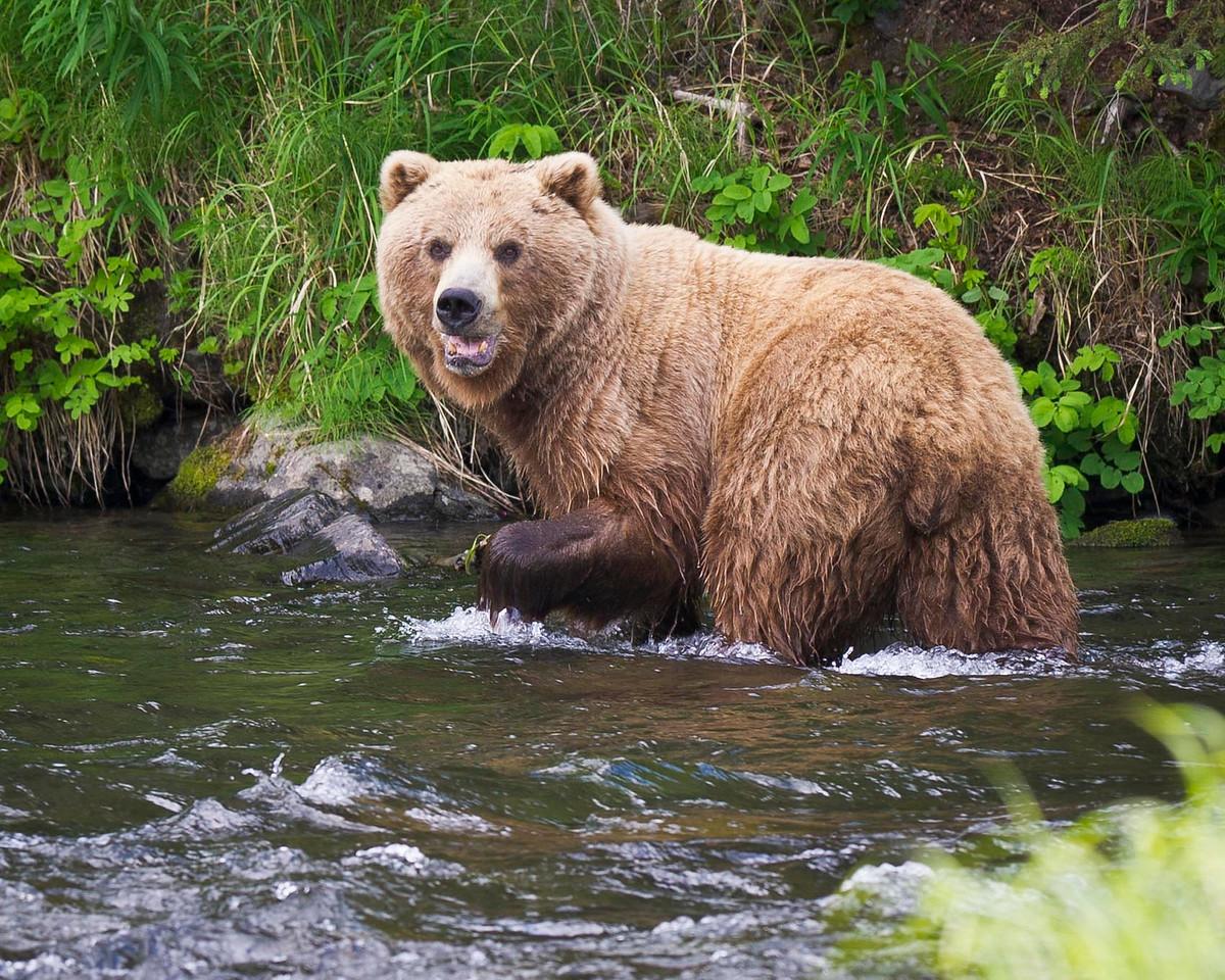 Brown Bear Sow Watches Her Cubs Closely Russian River Kenai Peninsula, Alaska © 2011