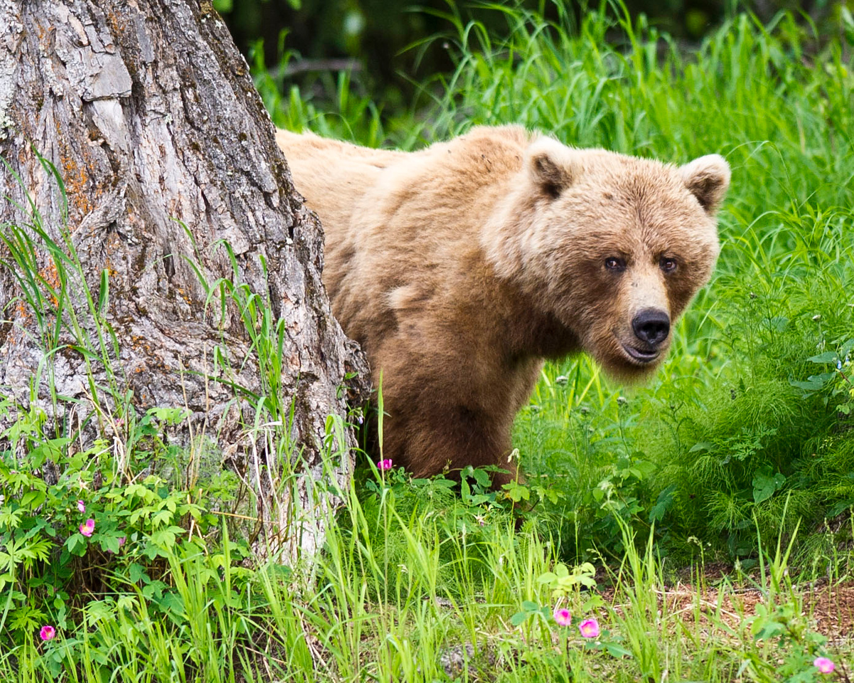 """Ready or Not, Here I Come"" Brown Bear Sow on Russian River Kenai Peninsula, Alaska © 2011"