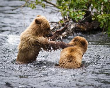 """""""You're Going Down!"""" Brown bear cubs playing Russian River, Kenai Peninsula, Alaska © 2011"""