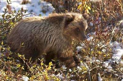 Young Grizzly Bear Cub Igloo Canyon Denali National Park, Alaska © 2012