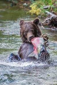 Brown Bear Tears It Up Russian River Cooper Landing, Alaska © 2014