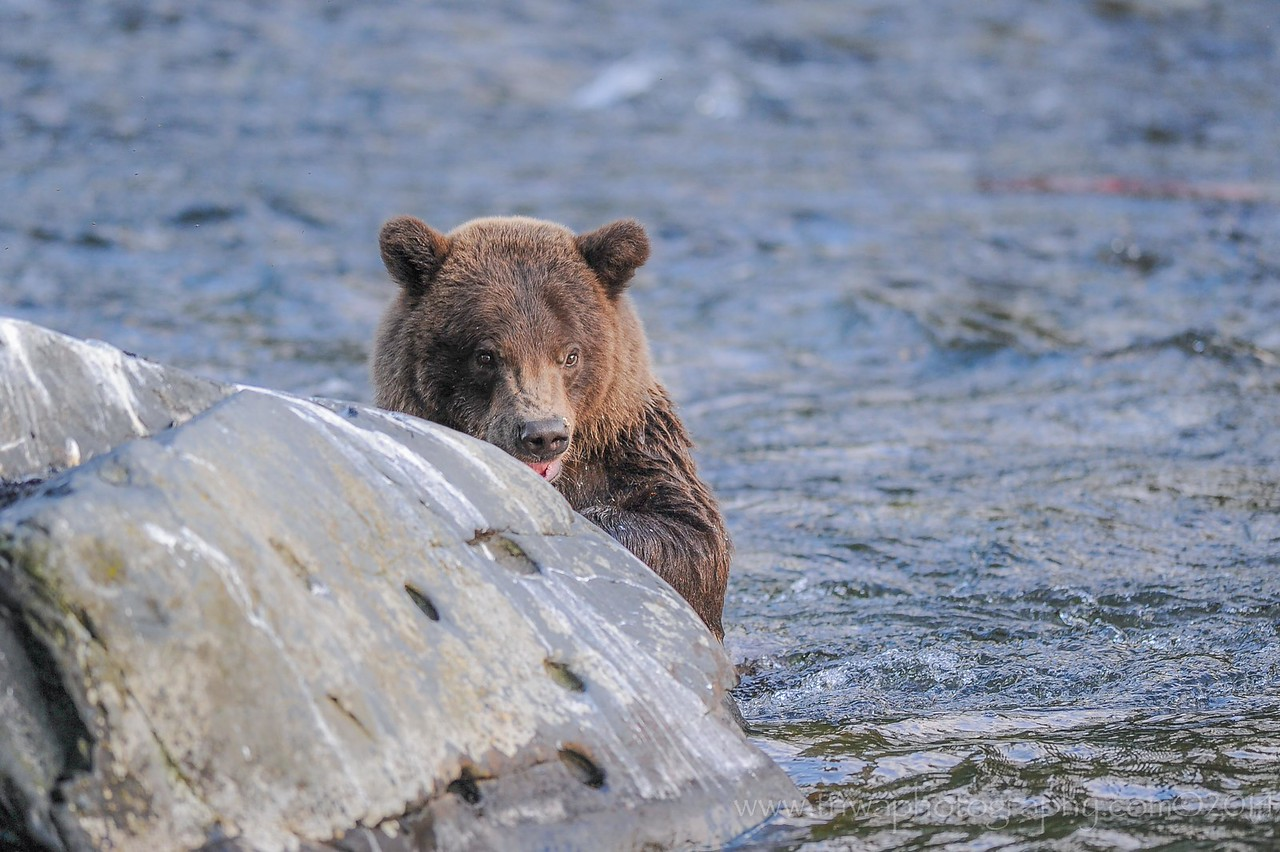 Peek-A-Boo Brown Bear Russian River Cooper Landing, Alaska © 2014
