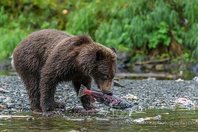 Brown Bear & the Unlucky Salmon Russian River Cooper Landing, Alaska © 2013