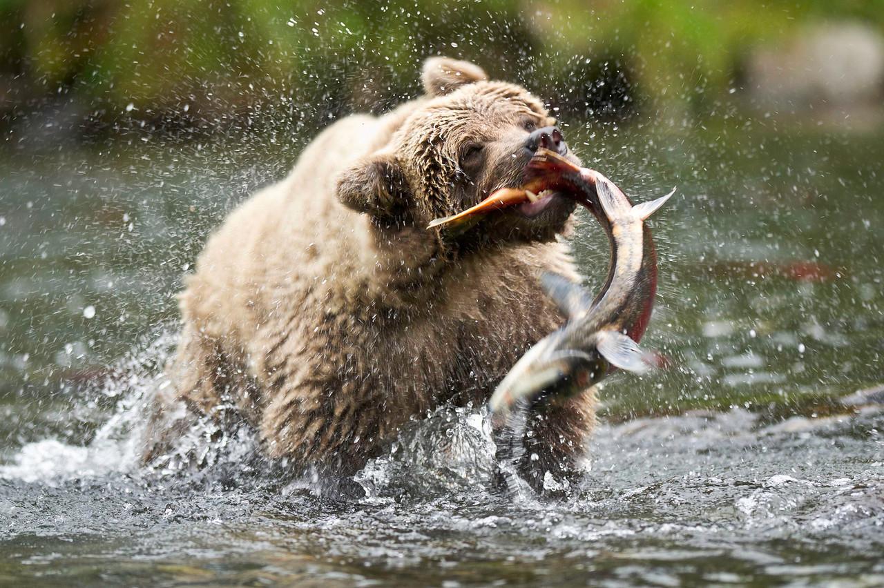 Brown Bear Catches Salmon Russian River, Kenai Peninsula Cooper Landing, Alaska © 2012