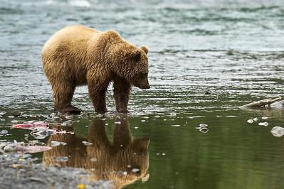 Coastal Brown Bear Reflection Russian River Campground Cooper Landing, Alaska © 2012