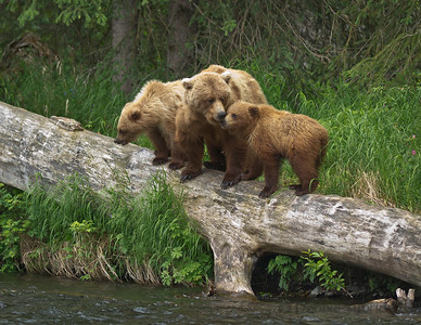 Brown Bear Family Sow & her 2 cubs on Russian River Cooper Landing, Alaska © 2011