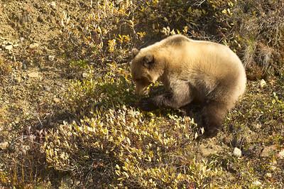 Grizzly Bear Strips Berries Denali National Park Alaska © 2012