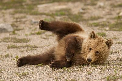 Grizzly Bear Roll Alberta Canada © 2014