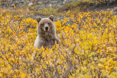 Grizzly Bear Peaking Out of the Brush Denali National Park Alaska © 2013