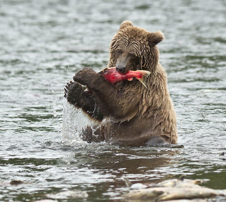Brown Bear Consumes Salmon Russian River Cooper Landing, Kenai Peninsula, Alaska © 2012