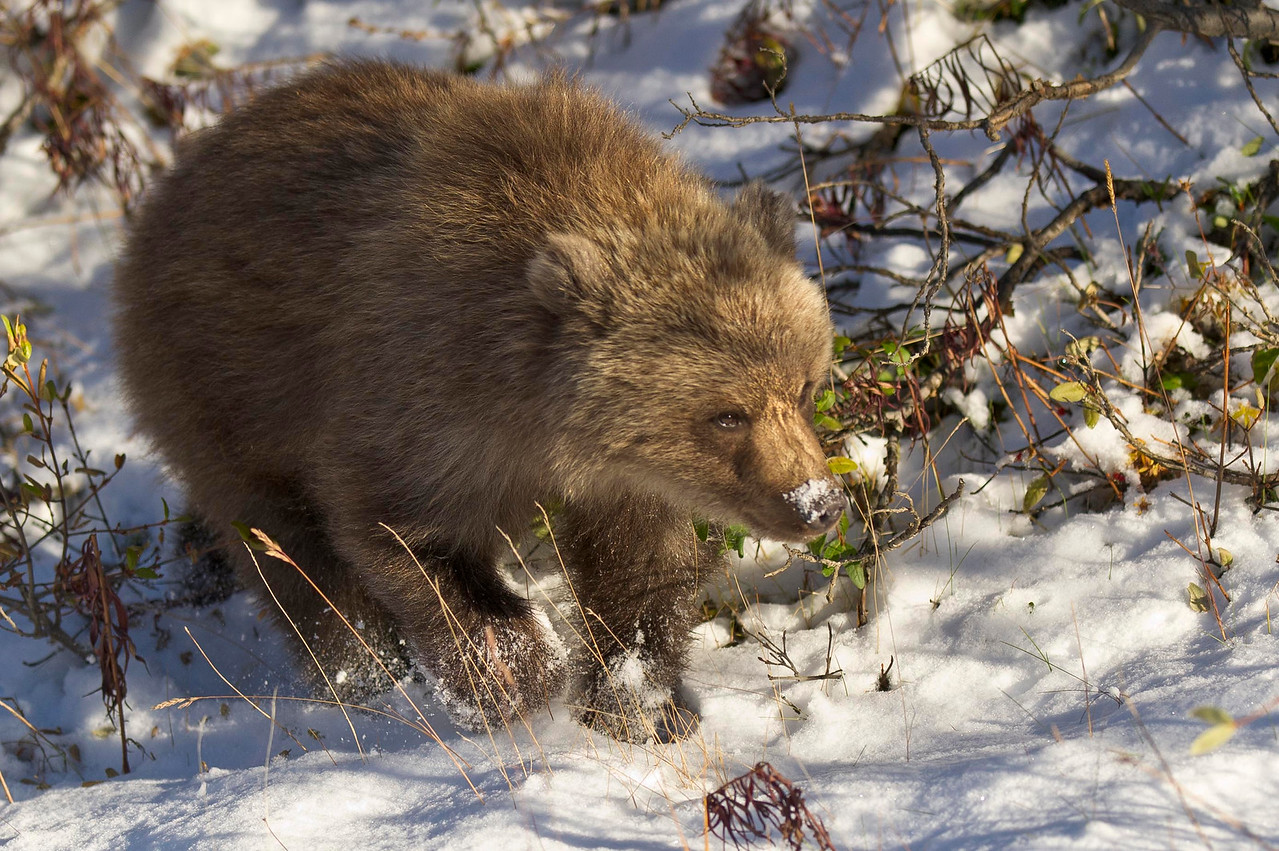 Grizzly Bear Cub in Snow Landscape Denali National Park Alaska © 2012
