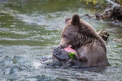A Brown Bear & Its Salmon