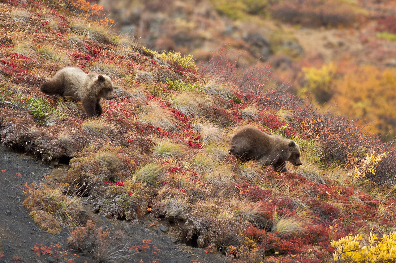 First Year Grizzly Cubs Running Through Autumn Tundra Denali National Park Alaska © 2012