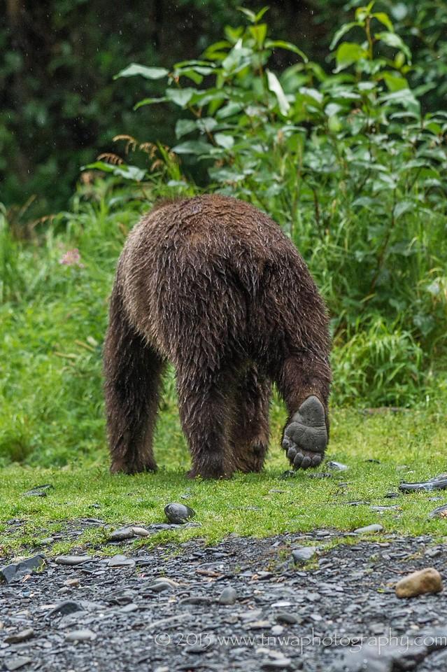 Out of Here - Brown Bear Russian River Cooper Landing, Alaska © 2013