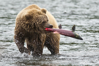 Brown Bear Shows Off Fresh Salmon Catch Russian River, Kenai Peninsula Cooper Landing, Alaska © 2012