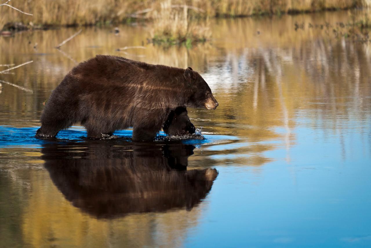 Cinnamon Black Bear Stream along Moose-Wilson Road Grand Teton National Park, Wyoming © 2010