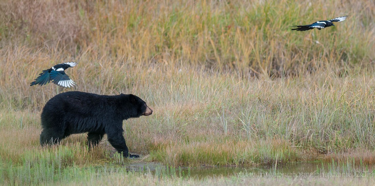 Black Bear Escorted by Magpies Valdez Alaska © 2014
