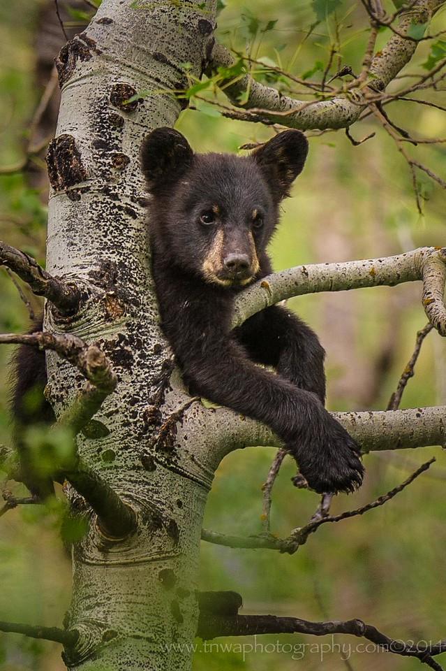 Black Bear Cub Up a Tree Waterton - Glacier International Peace Park Alberta, Canada © 2014