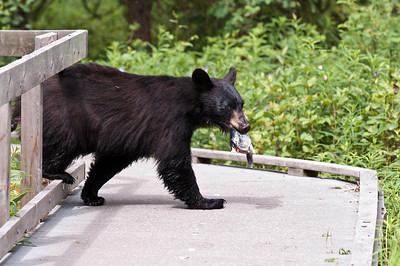 Black Bear Just Passing Through Russian River Campground, Kenai Peninsula Cooper Landing, Alaska © 2011