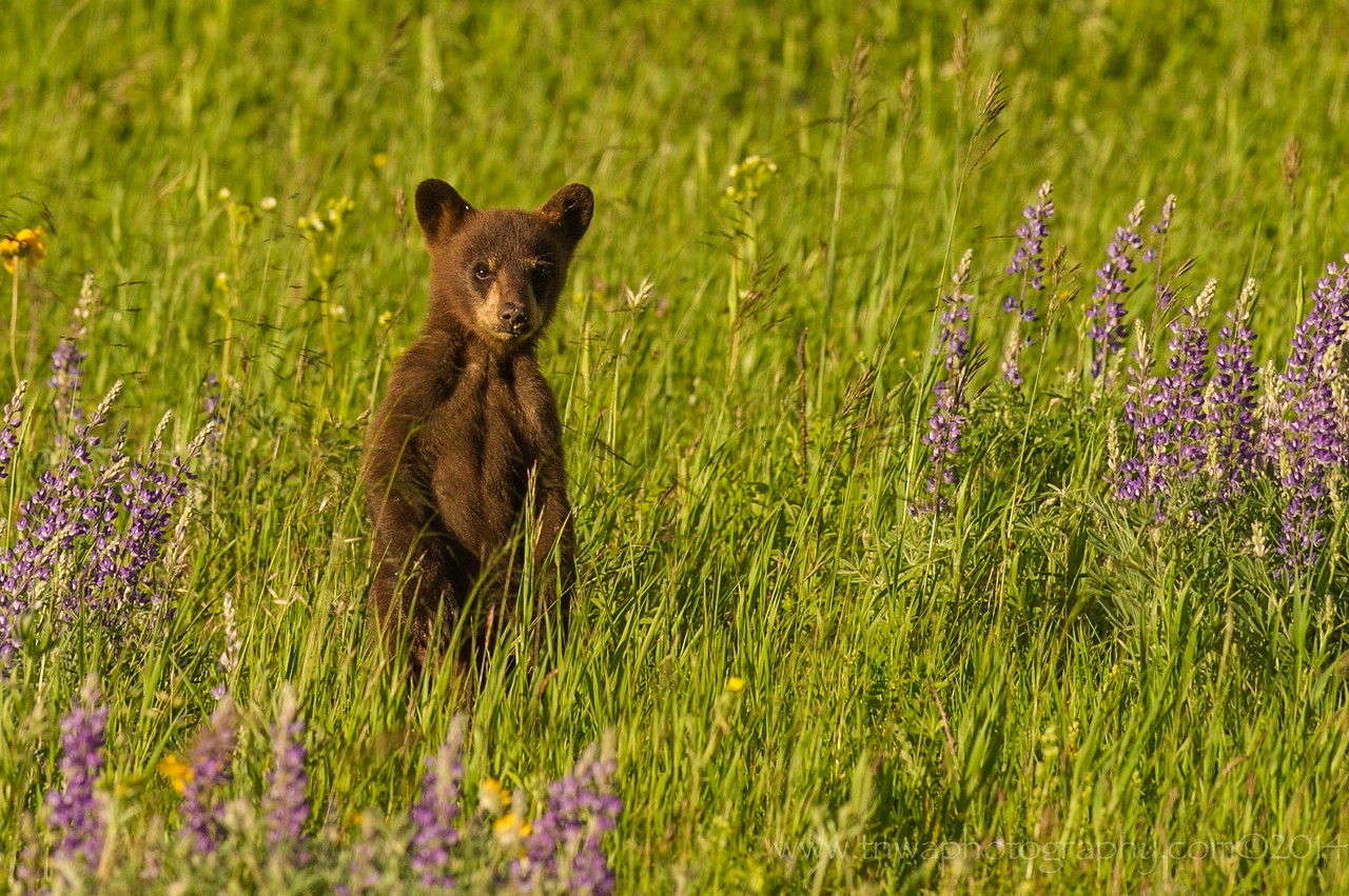 Black Bear Cub Peeks In Waterton Lakes National Park Alberta, Canada © 2014