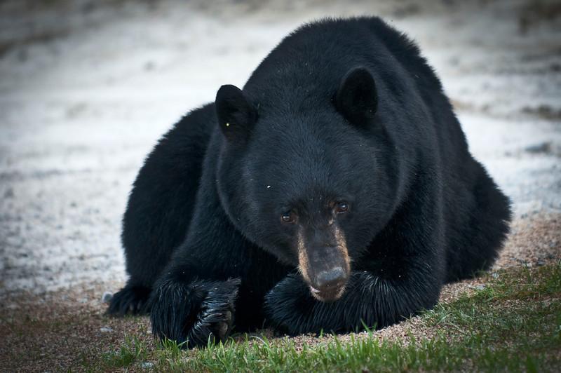 Black Bear Golden, British Columbia Canada © 2011
