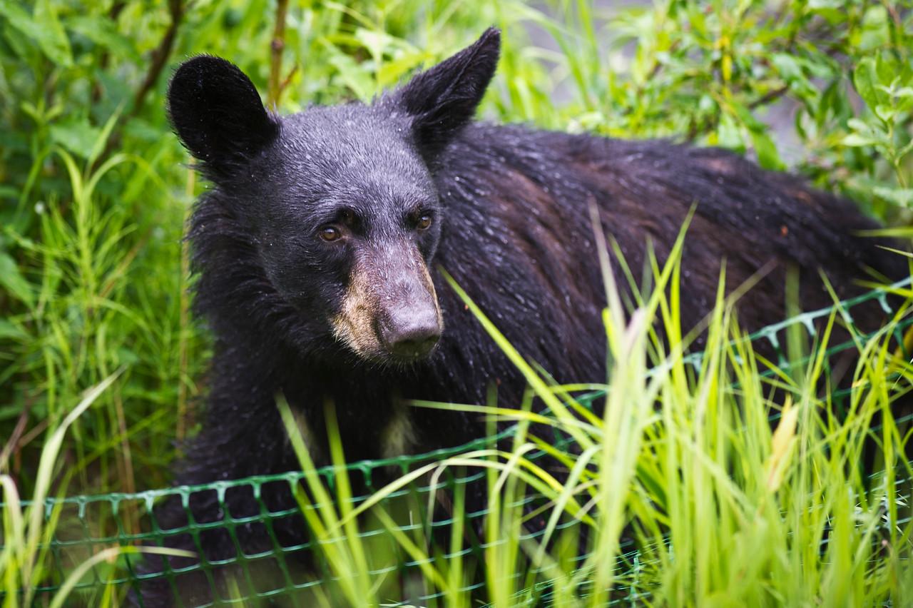 Inquisitive Black Bear Russian River, Kenai Peninsula Alaska © 2011