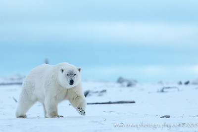 Out of the Arctic